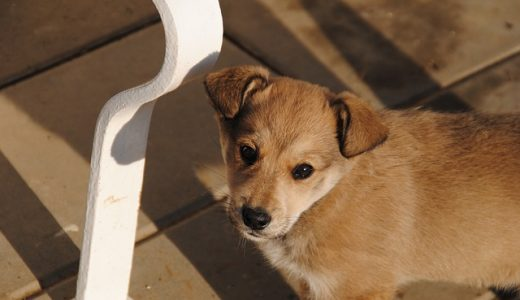 犬用の涙やけサプリメントのおすすめは?流涙症の原因と治し方・改善方法