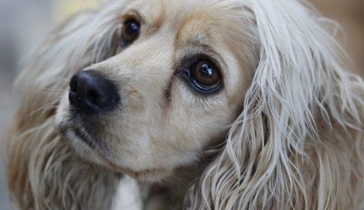 犬の涙やけ改善におすすめの無添加ドッグフードランキング!犬の餌で対策