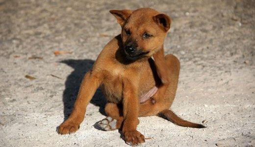 カサカサする犬の乾燥肌対策はどうしてる?フケの原因と保湿について